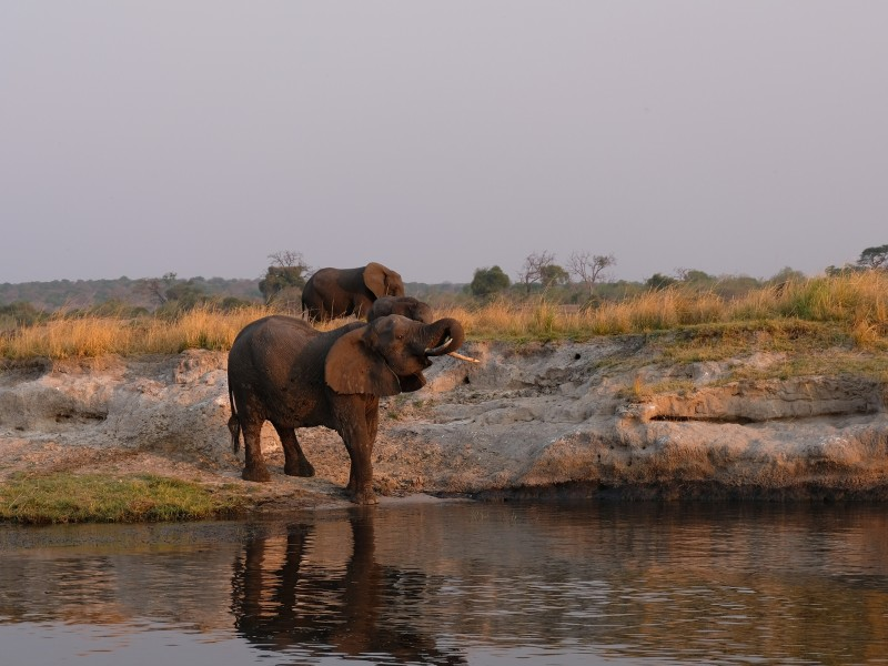 Trinkender Elefant am Chobe River