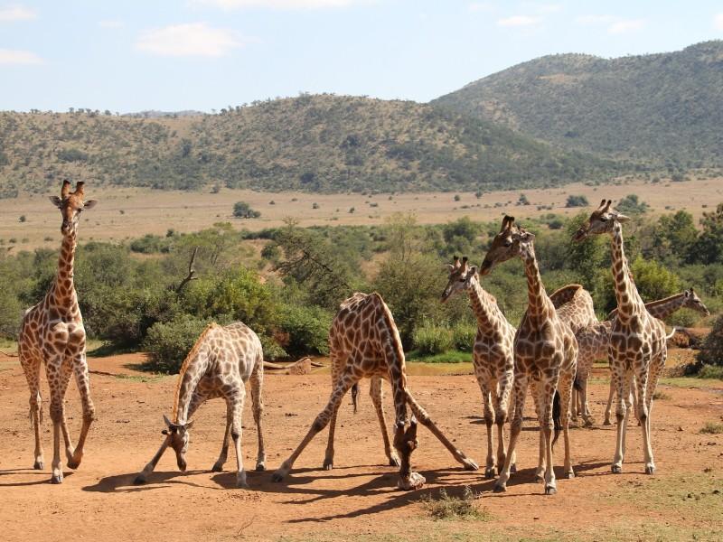 Giraffen im Pilanesberg Nationalpark