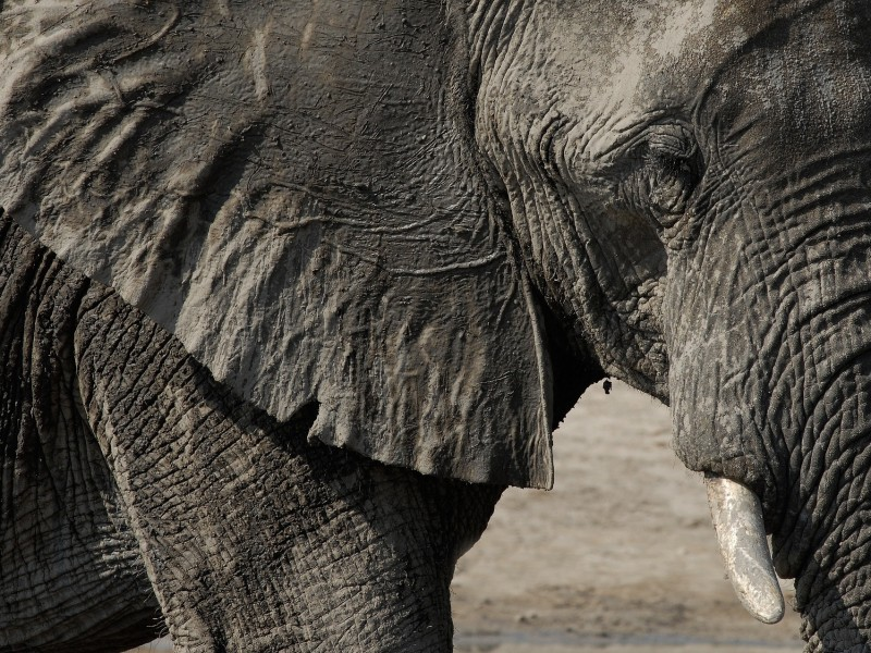 Nahaufnahme Elefant im Chobe