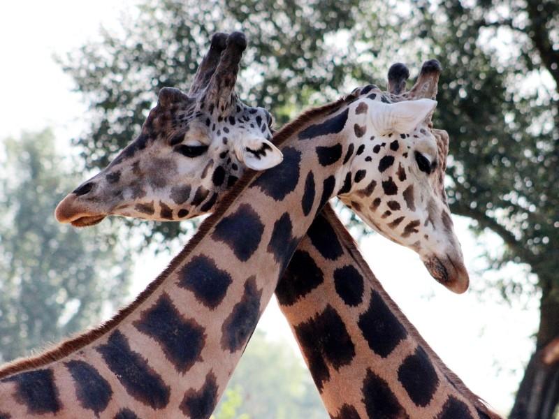 Giraffen-Liebe, Kruger