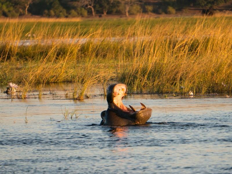 Nilpferd im Chobe Fluss