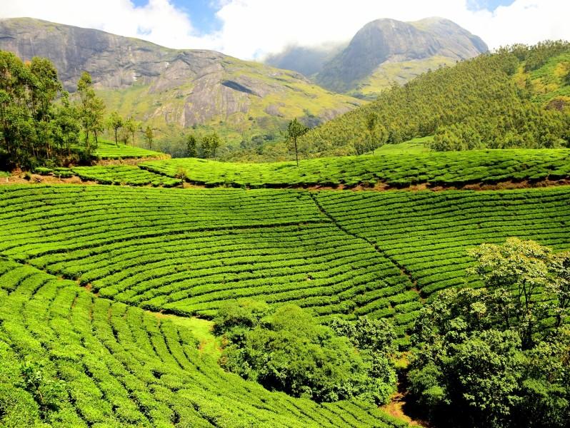Teeplantage in Darjeeling