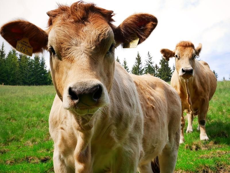 Kühe in der Steiermark