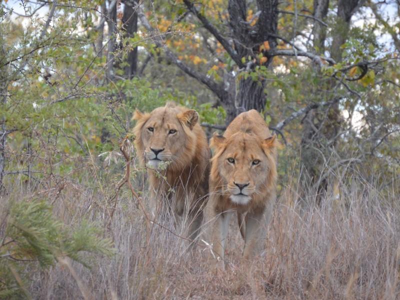 Lauernde Löwen