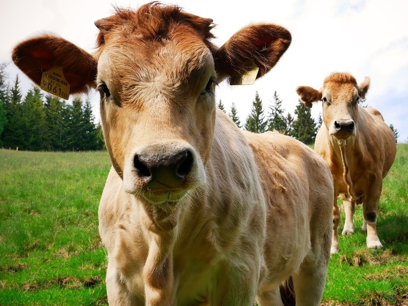 Rinder in der Steiermark