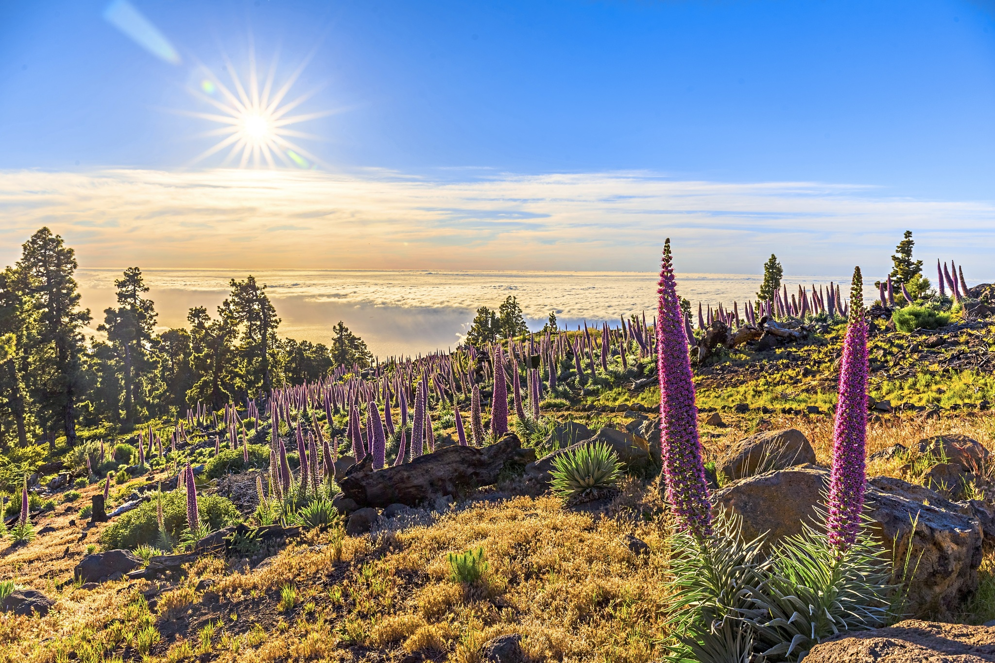 Kanaren La Palma Natternkopf Pflanze