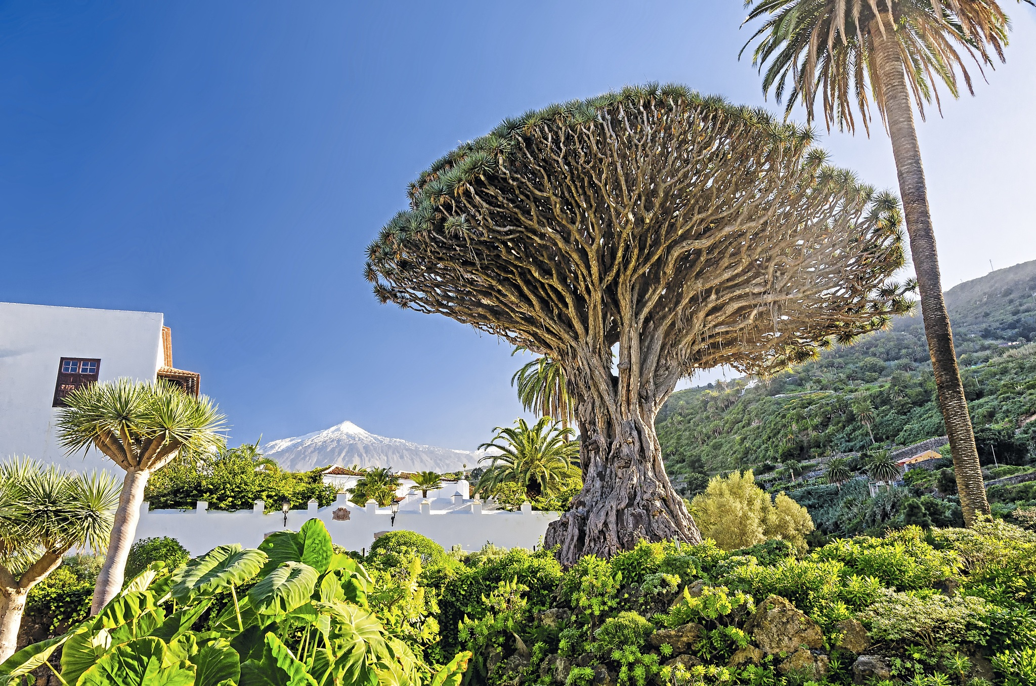 Kanaren Teneriffa Teide und Drachenbaum