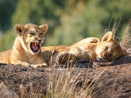 Löwen im Kruger