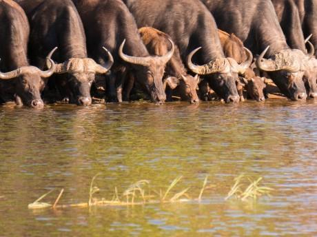 Trinkende Büffel im Chobe