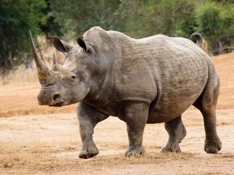Nashorn Swasiland