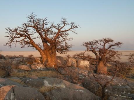 Baobabs in Botswana