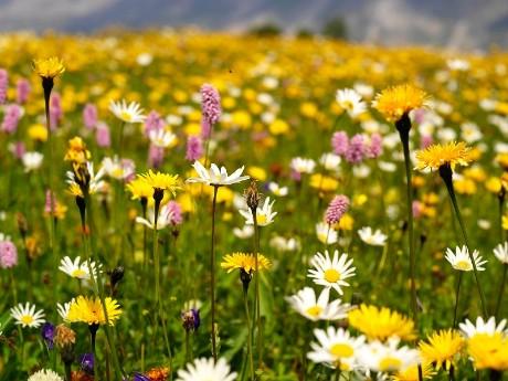 Blumenwiese in St. Moritz