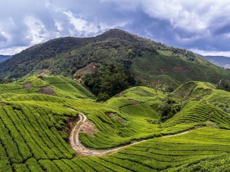 Teeplantagen, Cameron Highlands