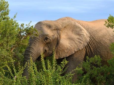 Elefant im Dickicht