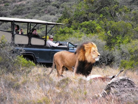 Löwe auf Safari, Amakhala Game Reserve