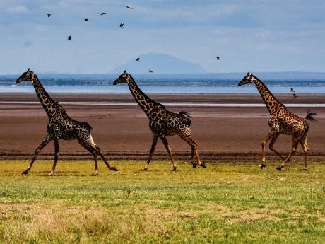 Laufende Giraffen in Tansania