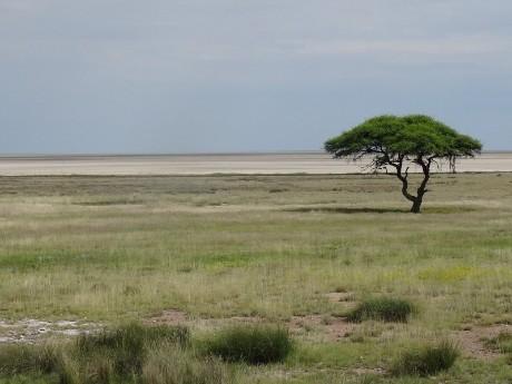 Einsamer Baum im Etosha