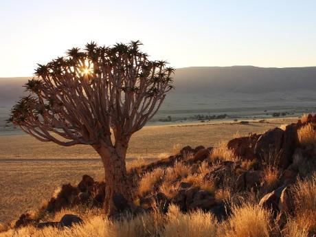 Köcherbaum in der Sonne