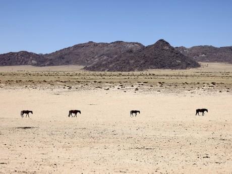 Wildpferde in Aus