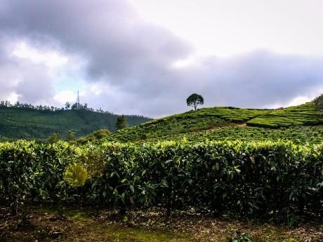 Teeplantagen von Munnar