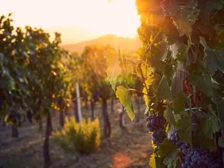 Weintrauben, Italien
