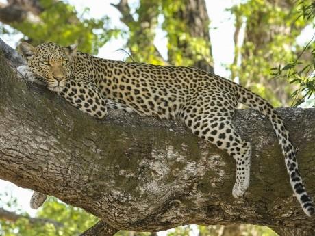 Wilder Leopard