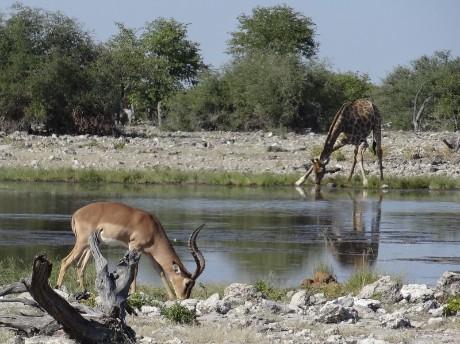 Trinkende Tiere Etosha