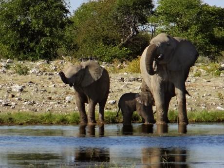 Chobe Elefanten am Fluss