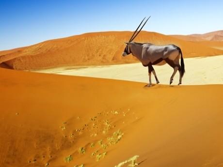Bock in der Wüste Namibias