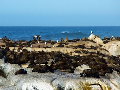 Seelöwen in Plettenberg Bay