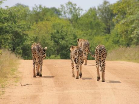 Wilde Geparden