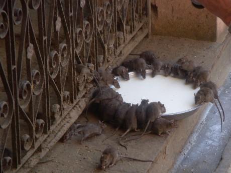 Bikaner- Karni Mata Temple