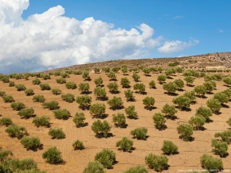 griechenland-kreta-lasithi-olive trees
