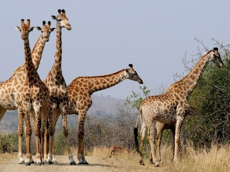 Giraffen im Hluhluwe NP