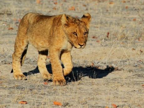 Löwenbaby im Etosha