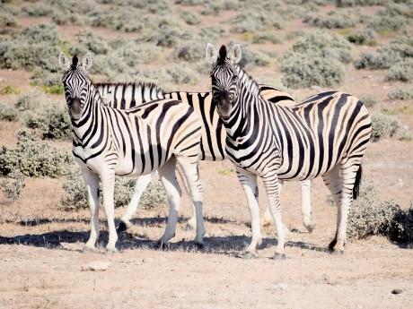 Zebras im Etosha