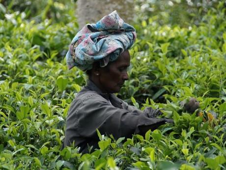 Frau Teeplantage